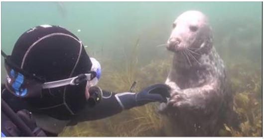 Somebody just wants his tummy tickled! Diver catches close encounter with friendly seal on underwater camera