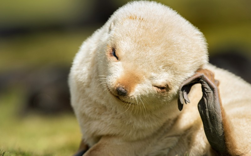 Extremely rare blonde seal cub caught on camera in South Georgia Islands